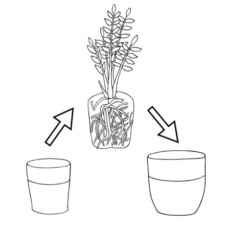 Transplanting flower from small pot to bigger pot. Vector instruction. Zamioculcas plant with roots and potting soil. Hand drawn black and white scheme