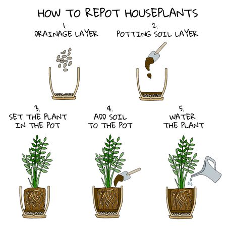 Transplanting potted flower steps. Vector instruction. How to repot a zamioculcas plant. Hand drawn colored scheme illustration. Gardening concept. Flower pot, drainage, potting soil, watering