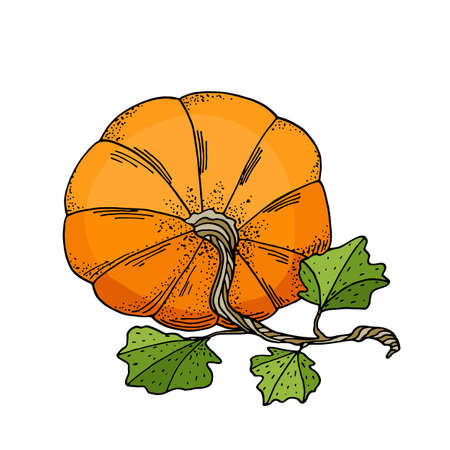 Vector pumpkin with leaves illustration. Hand drawn cartoon orange gourd vegetable isolated on white background. Stock illustration for cards, autumn decoration, Thanksgiving day, Halloween, poster.