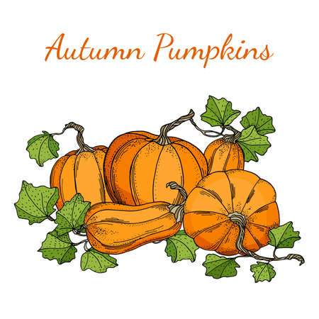 Autumn vector pumpkins illustration. Hand drawn pile of pumpkins with leaves isolated on white background. Composition for Thanksgiving day, Halloween banners, food markets, cards, decoration.