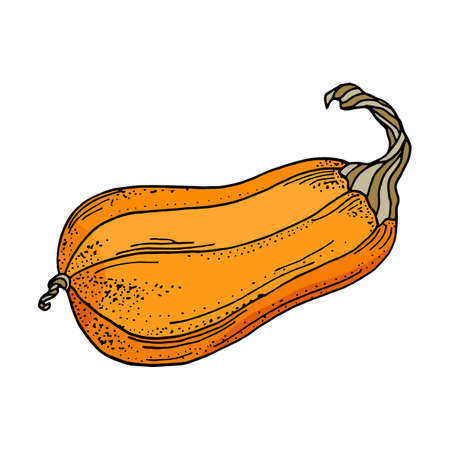 Vector pumpkin illustration. Cute cartoon orange gourd vegetable isolated on white background. Hand drawn squash illustration for autumn decoration, Thanksgiving day, Halloween, poster.
