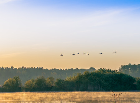 a flock of swans flying over the river early in the morning photo