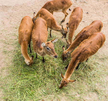 deer eating grass in a zoo