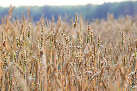 mellowness: field with ears of wheat Stock Photo