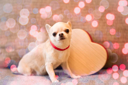 Little Chihuahua dog amid heart. Valentine's day composition. Bokeh