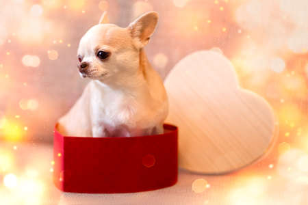Little chihuahua beige dog sits in a box in the shape of a heart. Valentine's day composition. Bokeh