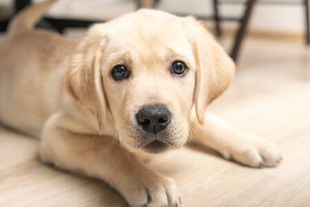 chiot drôle fourre le nez dans l'appareil photo. mignon petit chien retriever de six semaines regardant à huis clos.