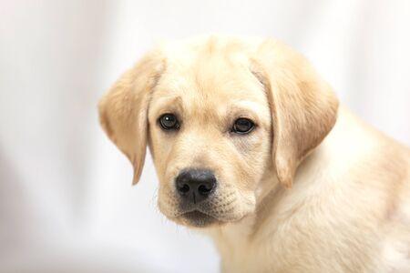 cute labrador puppy on white studio shot looking at camera. Pet love, dog friend.