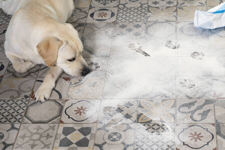 Naughty dog. dirty labrador retriever puppy with guilty expression lying near mess on kitchen floor.
