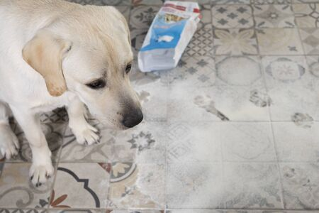 Naughty dog. dirty labrador retriever puppy with guilty expression sitting near mess on kitchen floor.