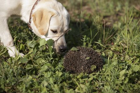 Labrador dog meeting with hedgehog in forest. hedgehog ball is protected by curling up