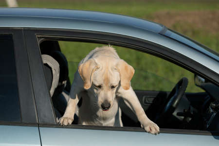 Labrador puppy standing on two legs and sticking head out car window Stockfoto