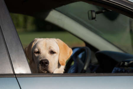 Sad Labrador retriever dog peeks out of window while waiting alone in car