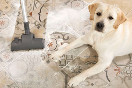 Cleaning up after dog. Naughty messy labrador puppy laying beside vacuum in middle of mess