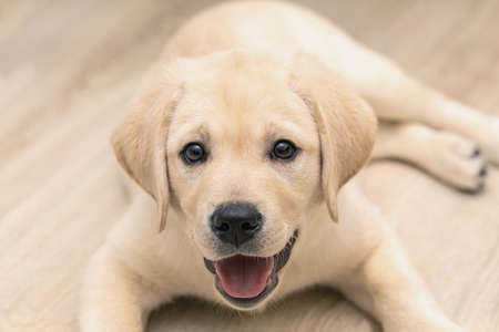 Cute adorable little golden labrador puppy is lying on floor of house.