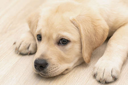 portrait of cute 3 month puppy Labrador dog laying on floor at home Imagens