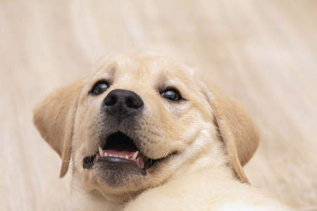 cute labrador puppy playing at home and looking at camera. Pet love, dog friend.