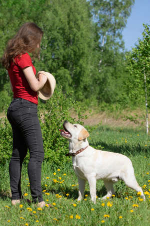 Young Labrador dog standing at leg of owner, waiting for command. Girl trains her pet outdoor in green summer meadow. Obedience, dog training, friendship, breeding, faith, well-mannered dog