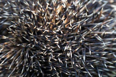 porcupine quills or prickly protective hedgehog needles Standard-Bild