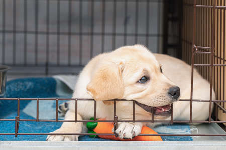 Cute six-week-old Labrador puppy bites an iron cage. puppy is teething