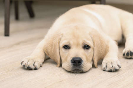 Cute three month old Labrador puppy is lying on floor of house with sad look.