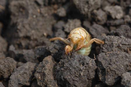larva of European Mole Cricket, Gryllotalpa gryllotalpa on soil. high magnification. common pest in gardens.