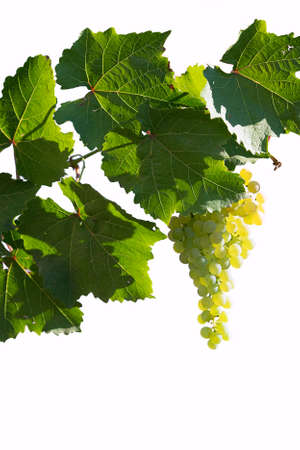 ripe clusters of white or green grapes with leaves illuminated by the sun on an isolated white background