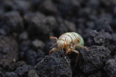 larva of Mole cricket, Gryllotalpa gryllotalpa on soil background. close-up of harmful insects. Selective focus