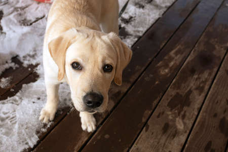 portrait of cute Labrador Retriever puppy standing in snow on wooden veranda. looking at camera.