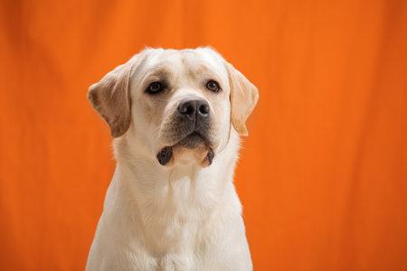portrait of one-year-old Labrador Retriever puppy sitting on orange background.