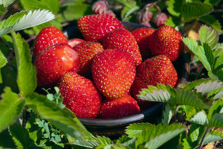 Red ripe strawberries growing on green garden background. Strawberry harvest.