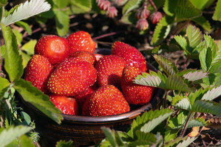 Strawberry harvest. Red ripe strawberries growing on green garden background