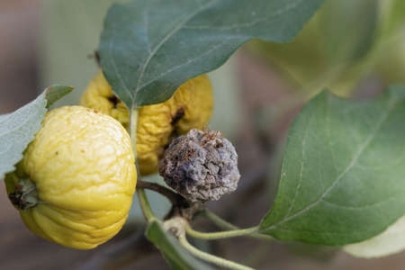 Close-up of yellow apple fruits affected by bacterial pathology with small shriveled two yellow and black fruits on branch of bush with green leaves. Plant diseases affecting fruits. Ruined crops.