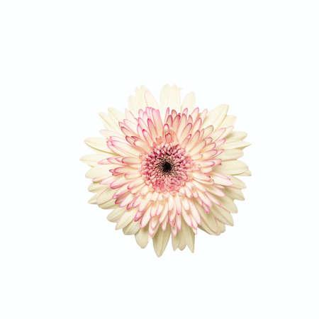 White gerbera flower head on white isolated background. Element for design Stockfoto