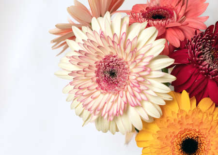 Close-up of beautiful wonderful multicolored white red mix of gerbera flowers on white background. Greeting card with place for inscription. Botanical room decor or presentation background with flowers on side