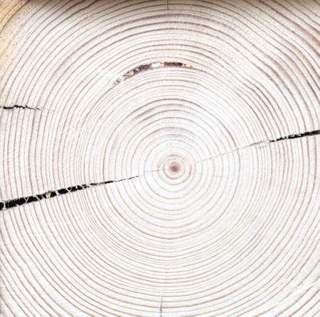 Natural wood background of large tree trunk cut with circles of natural ornament and cracks. Lumber, nature drawing or years tree lives. Background for presentations, template, texture of object or fabric.