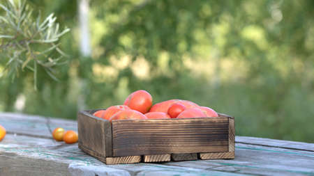 Ripe pink red delicious large tomatoes in wooden box on table on blurred natural green background. Harvest from home garden or greenhouse on farm. Tomatoes for preserving or for salad Stockfoto