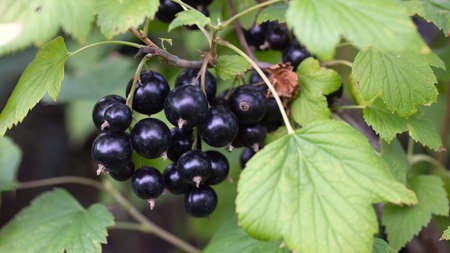 Ripe black curant edible berries hanging on bush branches closeup shot. Growing and ripening steps in homegrown or farm horticulture garden. Abundance of healthful juicy ecology organic nutrition