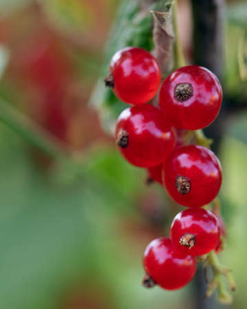 Ripe red currant berries close up on branches of green bush. Growing and ripening in homegrown or farm horticulture garden. Selective focus Stockfoto