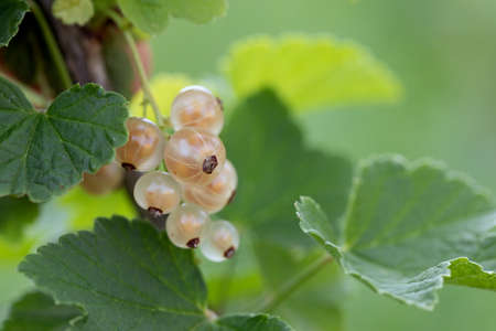 Bunch with part of yellow currant berries on branch with leaves on blurred natural green background.
