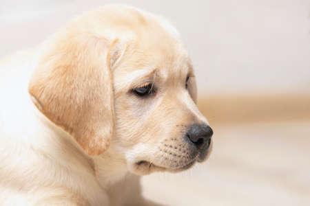 Nice little puppy of golden labrador retriever side view. Close up portrait on blur background