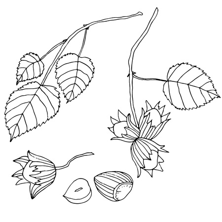 nutty: Black and white set hazelnuts, isolated.Branch with leaves and r