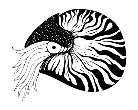 Nautilus coloring book black and white vector hand drawn illustration isolated on white background. Ocean mollusc with tentacles. Sketch of an animal.