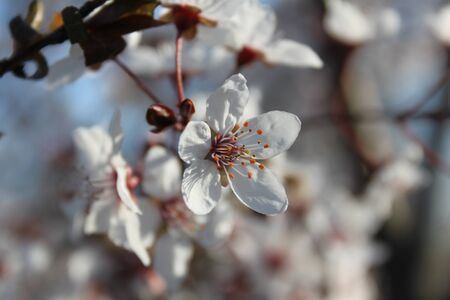 Blooming cherry tree flowers close-up on a branch. Spring beautiful background with cherry flower buds. Imagens
