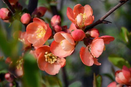 membrillo: flores de membrillo Foto de archivo