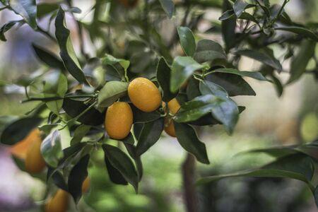 citrus tree: AMSTERDAM, The Netherlands. - June 19, 2015: Citrus tree on street Stock Photo