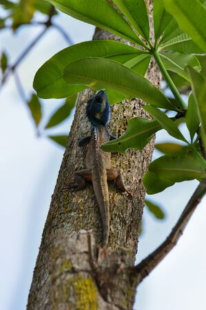 pal: Pal, Thailand - March 13, 2013: Lizard with blue head on tree