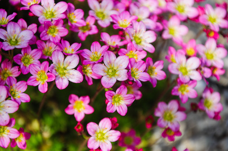 Saxifrage flowers on the ground in the garden