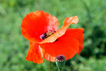 orange bright poppy bloom in the meadow photo