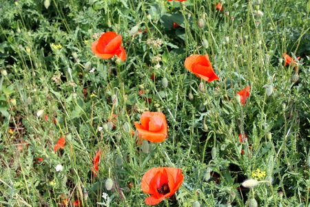orange bright poppies bloom in the meadow photo